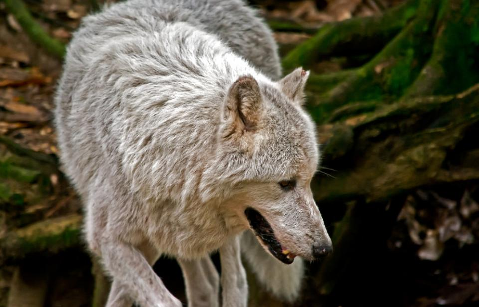 gray wolf - One of many native animal species on exhibit on the two-mile walking trail.