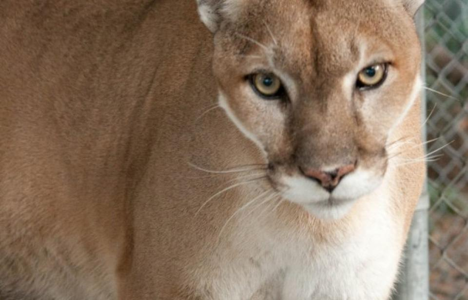 Camanche the Cougar - The facility now houses a wide variety of animals that are native to North America.